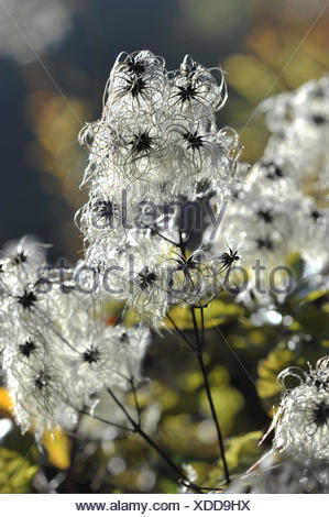 old man's beard, clematis vitalba - Stock Photo
