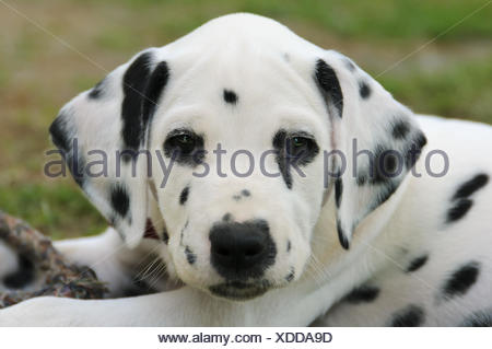 Dalmatian puppy, seven weeks old, portrait - Stock Photo