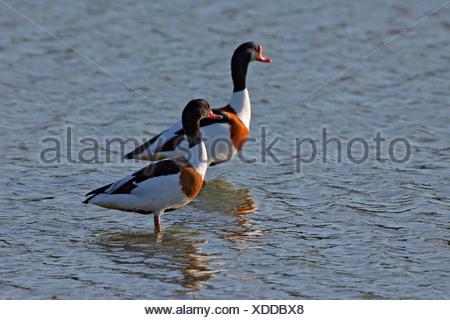 Couple of common shelducks standing in the water (Tadorna tadorna) - Stock Photo