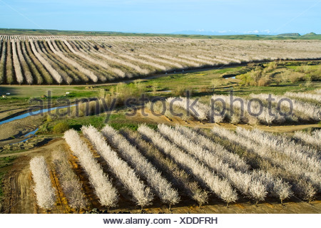 Agriculture - Elevated view of an almond orchard in full bloom in late Winter / Glenn County, California, USA. - Stock Photo