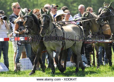 Dülmener Wildhorse - Stock Photo