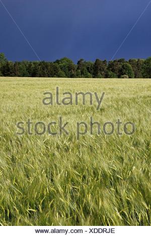 Common wheat (Triticum aestivum), field, Swabian Alb, Baden-Wuerttemberg, Germany - Stock Photo