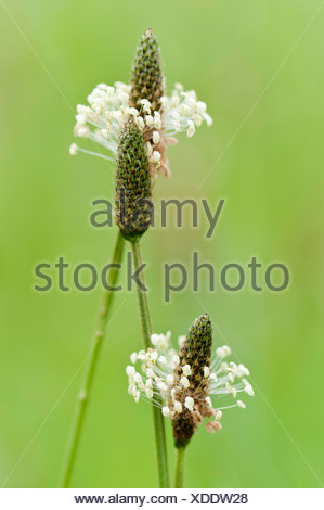 Plantain or Ribwort, Plantago lanceolata, with cone shaped heads surrounded by whorl of tiny, extended cream coloured flowers. - Stock Photo