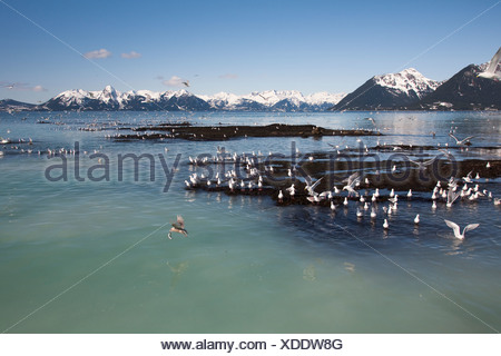 Glaucous-winged gulls catching herring at herring spawn, Hell's Hole, Prince William Sound, Southcentral Alaska, Spring - Stock Photo
