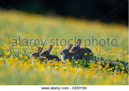 European Rabbit Oryctolagus cuniculus four young sitting amongst buttercups wildflower meadow Swaledale Yorkshire Dales N.P - Stock Photo