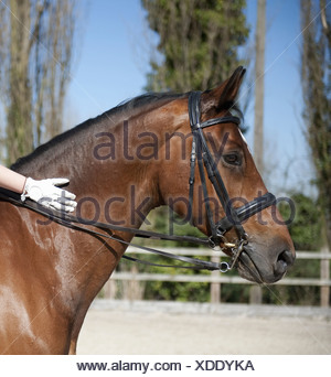 Side view A bay horse with a bridle  A rider's gloved hand on the glossy brown hide of the neck  England - Stock Photo