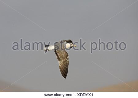 Yellow-legged Gull (Larus cachinnans) sub-adult, in flight, Fuerteventura, Canary Islands - Stock Photo
