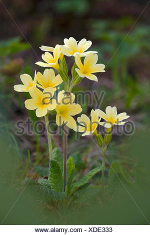 Hybrid of cowslip (Primula veris) x and primrose (Primula acaulis), very rare, Bad Ditzenbach, Swabian Alp, Baden-Wuerttemberg - Stock Photo