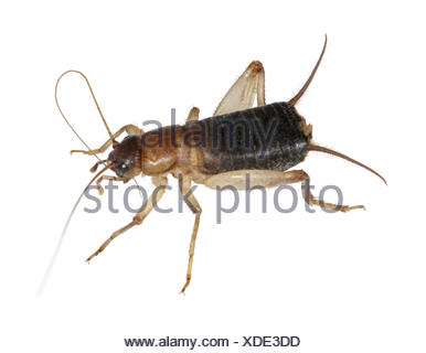 Scaly Cricket - Pseudomogoplistes vincentae - Stock Photo