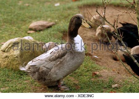 domestic duck (Anas platyrhynchos f. domestica), Rouen Clair Duck standing on lawn - Stock Photo