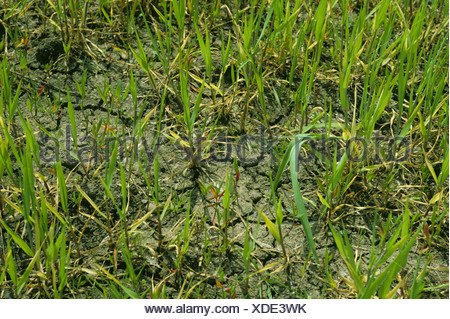 Young barley plants in cracked and dry soil after waterlogging - Stock Photo