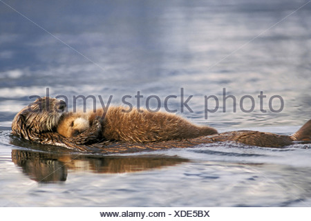 Sea Otter Floating with Newborn Pup on Her Chest - Stock Photo