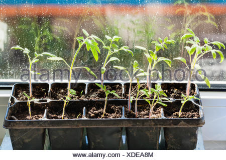 container with tomato plant seedlings on sill - Stock Photo