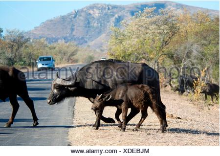 Buffalo (Syncerus caffer) juvenile crossing road, Kruger National Park, Transvaal, South Africa. - Stock Photo