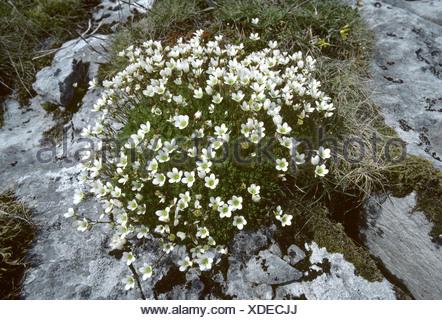 IRISH SAXIFRAGE Saxifraga rosacea - Stock Photo