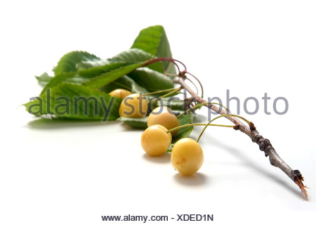 Cherry variety Schwefelkirsche  with twig and leaves - Stock Photo