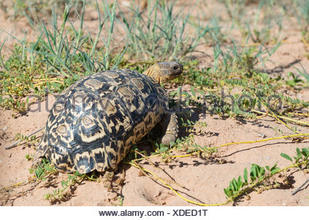 South Africa, North Cape, Benede Oranje, Kgalagadi Transfrontier Park, tortoise in the wild - Stock Photo