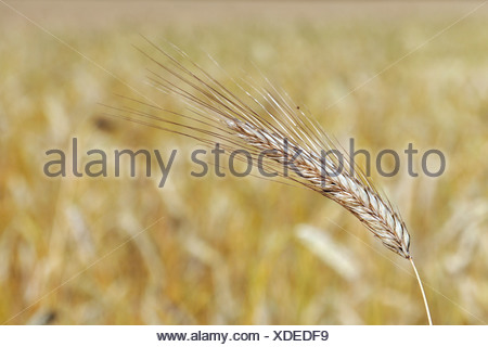 Ear of wheat ready to be harvested - Stock Photo