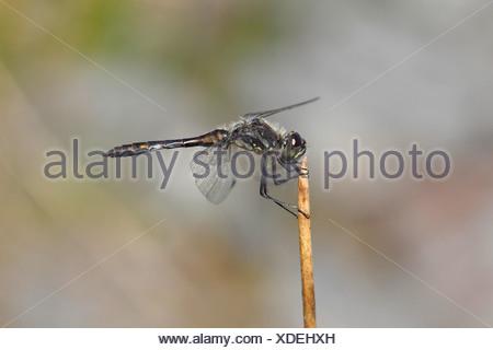 Black Darter (Sympetrum danae) sunning itself on a stalk, North Rhine-Westphalia, Germany - Stock Photo