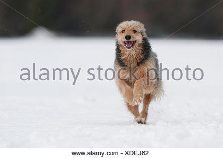 Bosnian Coarse-haired Hound, mongrel, running in the snow - Stock Photo