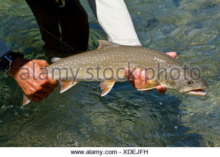 Fishing guide releases bull trout into Kootenay river, East Kootenays, BC, Canada. - Stock Photo