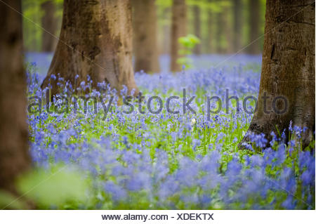 Bluebells in Hallerbos near Brussels Hyacinthoides non-scripta bulbous perennial plant found in Atlantic areas north-western - Stock Photo