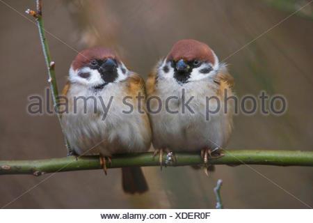 Feldsperling, Feldspatz (Passer montanus), zwei aufgeplusterte Spatzen sitzen zusammen auf einem Ast, Vorderansicht, Deutschland - Stock Photo