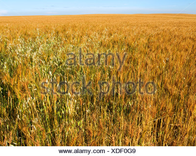 Livestock - Wild oat (Avena fatua) patch infests a ripening grain field / Alberta, Canada. - Stock Photo