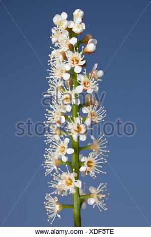 Prunus laurocerasus, Laurel, White flower subject, Blue background. - Stock Photo