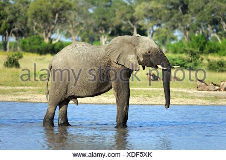 Elefant am Wasserloch - Stock Photo