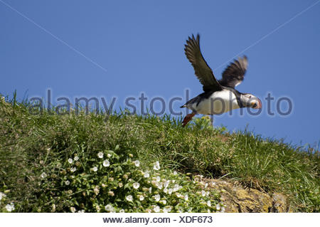 Atlantic puffin, Common puffin (Fratercula arctica), flying up, Iceland - Stock Photo