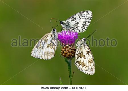 Marbled White (Melanargia galathea). Three butterflies on a thistle flower - Stock Photo
