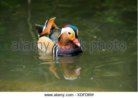 Male Mandarin Duck (Aix galericulata) swimming on water Stock Photo