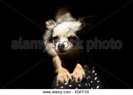Chihuahua dog stretching on sofa couch - Stock Photo