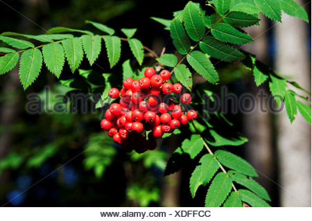 tree, berry, rowanberry, fruit, progeny, ripe, mature, Chräiholz, pinna, pinnate leaf, infructescence, canton Bern, Mötschwil, n - Stock Photo