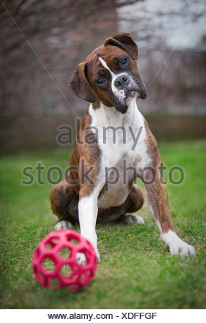 A Boxer Dog Sits With A Ball On The Grass; Edmonton, Alberta, Canada - Stock Photo