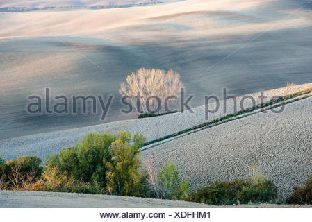 A lonely tree on the gray cultivated Tuscany land and autumn yellow forests, illuminated by the setting sun - Stock Photo