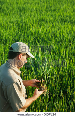 Agriculture - A crop consultant in the field inspects a mid growth rice plant at the early head formation stage / Arkansas, USA. - Stock Photo