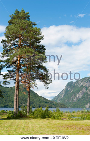 Old pine trees or Scots pines (Pinus sylvestris), Lake Bandak, Dalen, Telemark, Norway, Scandinavia, Northern Europe, Europe - Stock Photo