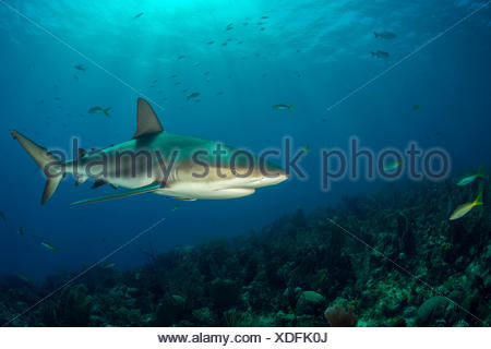 Caribbean Reef Shark, Carcharhinus perezii, Jardines de la Reina, Cuba - Stock Photo