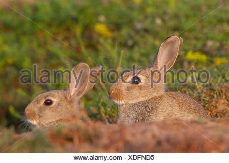European Rabbit (Oryctolagus cuniculus). Two young at entrance to den. Sweden - Stock Photo