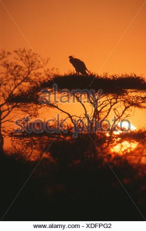 Secretary Bird (Sagittarius serpentarius) silhouette at sunset, Kruger National Park, South Africa - Stock Photo