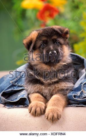 German Shepherd Alsatian Puppy lying under denim jacket Germany - Stock Photo