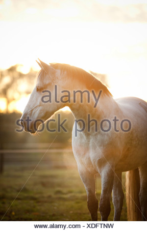 PRE gelding, dapple-grey, standing in a meadow at dawn with light fog - Stock Photo