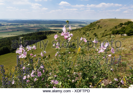 Greater musk-mallow, Cut-leaved mallow (Malva alcea), Hesselberg mountain, Middle Franconia, Franconia, Bavaria, Germany, Europe - Stock Photo