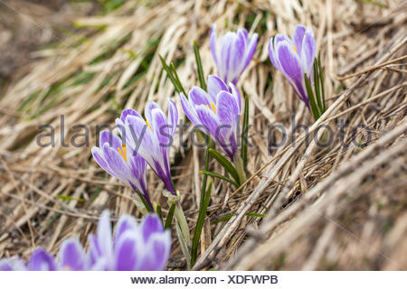 botany, lilac crocus in the Knuttental, Rein in Taufers, Reintal, South Tyrol, Italy, Additional-Rights-Clearance-Info-Not-Available - Stock Photo