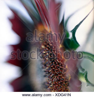 Close up of red Sunflower. - Stock Photo