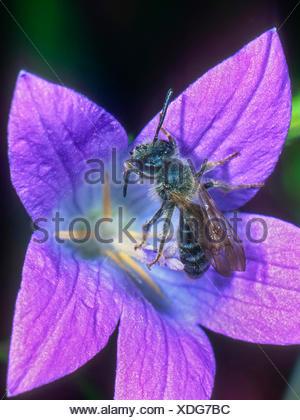 Grauschuppige Sandbiene (Andrena pandellei), Maennchen auf Glockenblumen-Bluete (Campanula spec.), Deutschland | Mining bee (And - Stock Photo