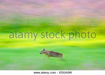 a few weeks old Roe deer calf running through meadow; een enkele weken oude reekalf rent door grasland in laatste avondlicht - Stock Photo