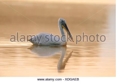 Dalmatian Pelican (Pelecanus crispus), with reflection, Central Macedonia, Greece - Stock Photo